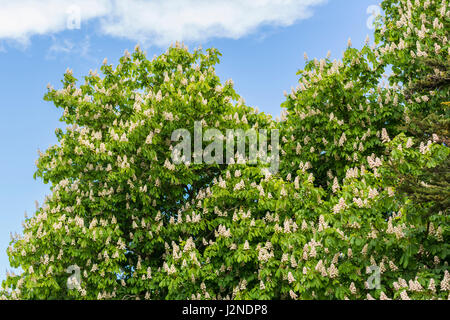 Top of a Horse Chestnut tree (Aesculus hippocastanum), AKA a Conker tree, .in Spring in the UK. - Stock Photo