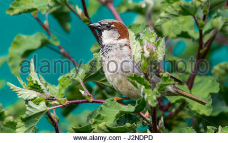 Adult male House Sparrow (Passer domesticus) perched on a bush in Spring in West Sussex, England, UK. - Stock Photo