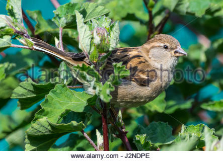 House Sparrow (Passer domesticus). Adult female House Sparrow  perched on a branch in a bush in Spring in West Sussex, - Stock Photo