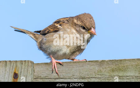 Adult female House Sparrow (Passer domesticus) perched on a fence in Spring in West Sussex, England, UK. - Stock Photo