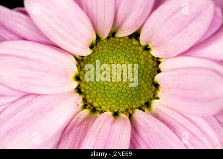 close of of a pink common daisy - Stock Photo