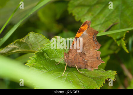 A satyr comma butterfly, Polygonia satyrus, perched up on a leaf in a prairie woodland. - Stock Photo