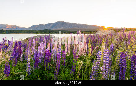 Sun shining through purple Large-leaved lupines (Lupinus polyphyllus), sunrise behind mountains, Lake Tekapo, Canterbury - Stock Photo