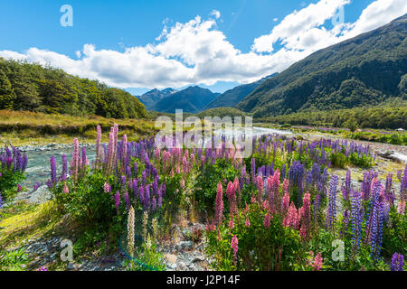 Purple Large-leaved lupines (Lupinus polyphyllus) on a river, Eglington River, Earl Mountains, Fiordland National - Stock Photo