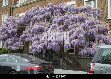 Close-up image of the beautiful spring flowering Wisteria climbing plant with delicate long purple flowers - Stock Photo