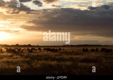 A small herd of wildebeest in tall grass photographed at sunset in Liuwa Plain National Park, Zambia - Stock Photo