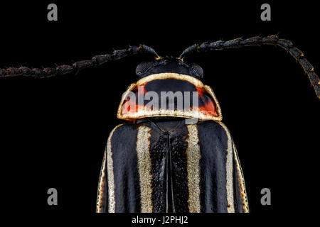 x4 magnification extreme macro of a Ten-Lined June Beetle. - Stock Photo