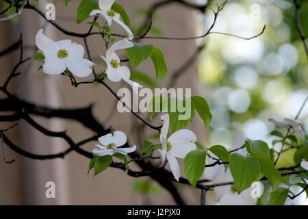 White flowering dogwood - Stock Photo