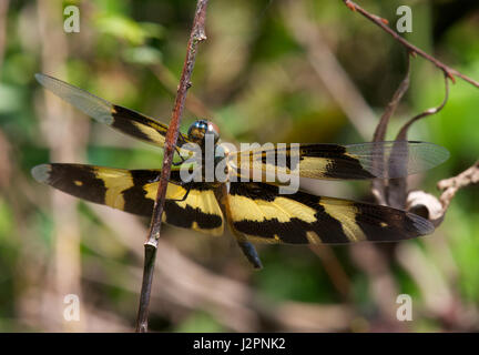 Rhyothemis Variegata Dragonfly - Stock Photo