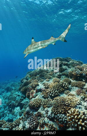 Corals with a blacktip reef shark underwater on the outer reef of Huahine island, Pacific ocean, French Polynesia - Stock Photo