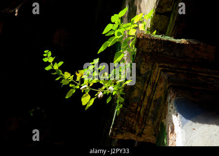 Shrubs grow on the run-down building at Shakhari Bazar in Old Dhaka. Dhaka, Bangladesh - Stock Photo