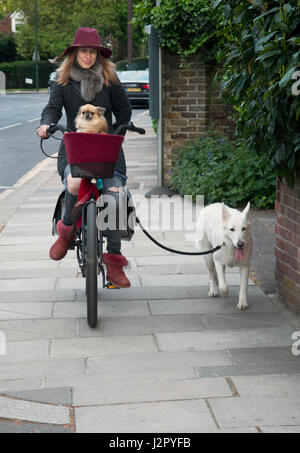 Woman cyclist cycles with her two dogs, one on the lead and one in a basket. UK - Stock Photo