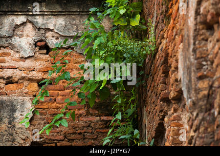 Scattered plants grow out on a run-down Bara Katra building in Old Dhaka. Bangladesh - Stock Photo