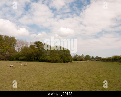 a wide open field in spring with lots of fresh cut grass and some sheep grazing - Stock Photo