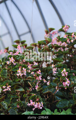Close up of begonia plants - Stock Photo