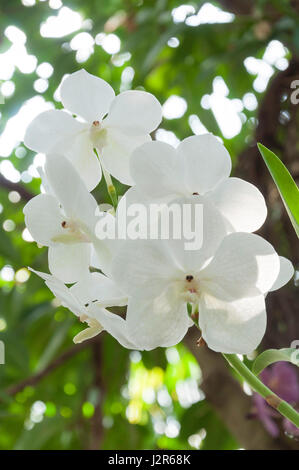 White orchid flowers in The Glasshouse at The Royal Horticultural Society's garden at Wisley, Wisley, Surrey, England, - Stock Photo