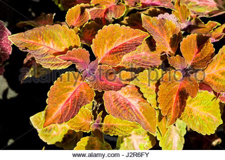 Coleus blumei, AKA Solenostemon scutellarioides, commonly called painted nettle, was photographed in Germany where - Stock Photo