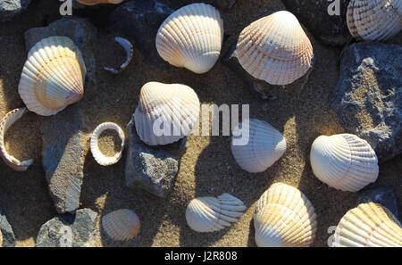 Collection of shells on Llansteffan beach - Stock Photo