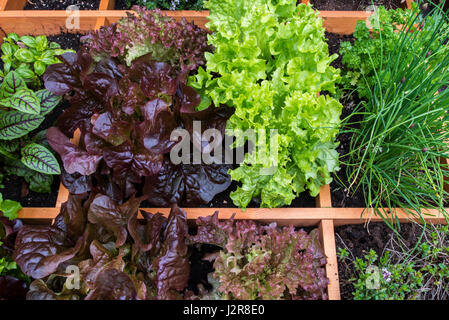 Square foot garden showing different species of lettuce, herbs and vegetables in wooden box - Stock Photo