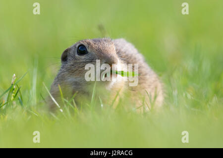 European Ground Squirrel, Spermophilus citellus - Stock Photo
