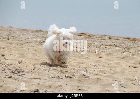 Cute dog on beach running - Maltese puppy - Stock Photo