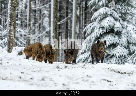Eurasian Wild Boar (Sus scrofa) standing ground and foraging  in a snow covered woodland in mid winter, - Stock Photo