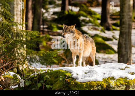 Beautiful single adult Grey Wolf (Canis lupus) Alpha Male depicted posturing menacingly from a vantage point in - Stock Photo