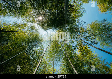 Spring Sun Shining Through Canopy Of Tall Trees Bamboo Woods. Sunlight In Tropical Forest, Summer Nature. Upper - Stock Photo