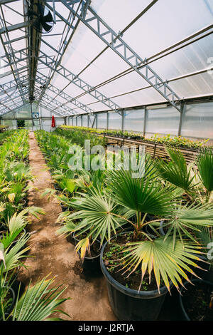 Small Green Sprouts Of Plants Palms Trees Growing From Soil In Pots In  Greenhouse Or Hothouse