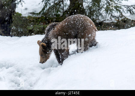 Young Eurasian Brown Bear cub (Ursus arctos) depicted foraging in a winter snow storm. - Stock Photo