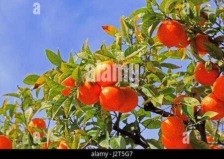 Oranges growing on tree, Fuengirola, Spain - Stock Photo