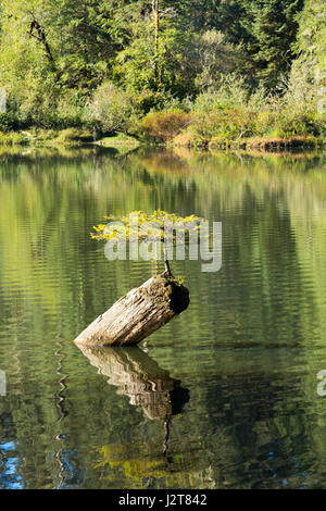 Lonely small fir tree living on a tree trunk, Fairy Lake, Vancouver Island, Canada - Stock Photo