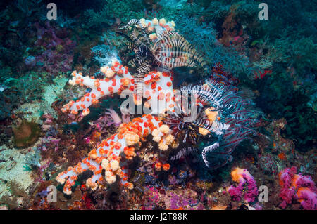 Crinoid or featherstar.  Cebu, Malapascua Island, Philippine. - Stock Photo