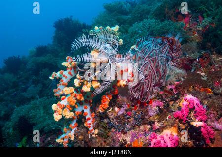 Crinoid or featherstar.  Cebu, Malapascua Island, Philippines. - Stock Photo