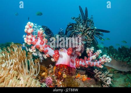 Crinoid or featherstar perched on soft coral.  Cebu, Malapascua Island, Philippines. - Stock Photo