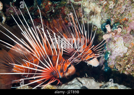 A pair of Clearfin or Radial lionfish (Pterois radiata).  Egypt, Red Sea. - Stock Photo