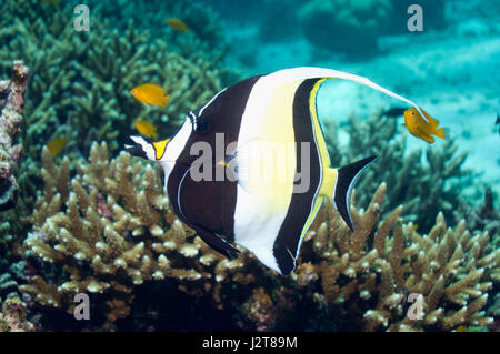 Moorish idol (Zanclus cornutus).  Andaman Sea, Thailand. - Stock Photo