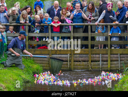 Tarlescough, Nr Southport, UK. 1st May, 2017.  Bank Holiday plastic duck race. WWT Martin Mere Wetland Centre made - Stock Photo