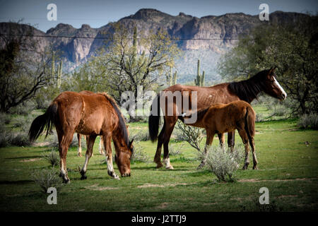 young colt nursing while mare grazes on green spring grasses. These horses are part of a large band of wild horses - Stock Photo