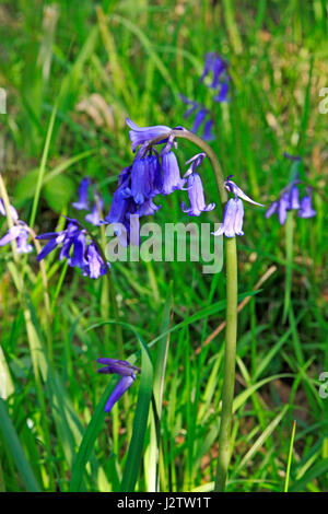 The flower head of a Bluebell, Hyacinthoides non-scripta, at Foxley Wood, Norfolk, England, United Kingdom. - Stock Photo