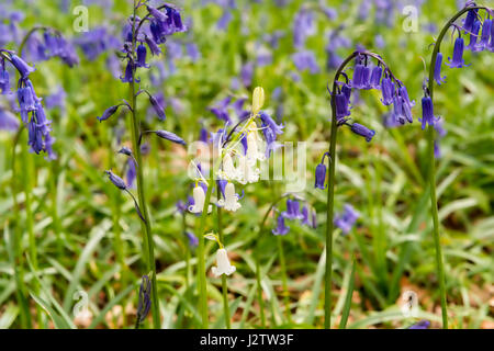 Bluebells In Ancient Woodland, Cheshire, UK - Stock Photo