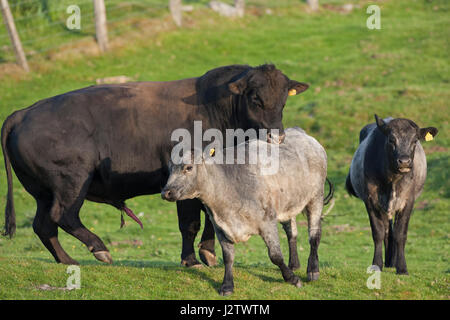 aberdeen angus bull beef cattle breed bos sp prize winning stock photo royalty free image. Black Bedroom Furniture Sets. Home Design Ideas