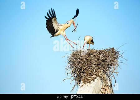 White Stork(Ciconia ciconia) returning to the nest - Stock Photo