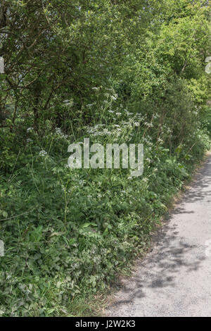 A Patch of Cow Parsley / Anthriscus sylvestris on the side of a country lane (Cornwall). Very common weed on farmland - Stock Photo