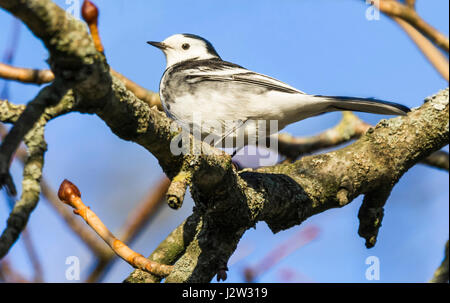 Female Pied Wagtail bird (Motacilla alba yarrellii) in Winter plumage in a tree in West Sussex, England, UK. - Stock Photo