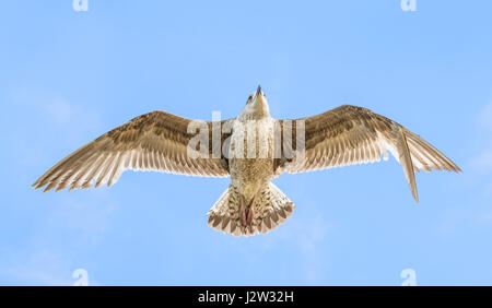 Underside of a Juvenile Herring Gull (Larus Argentatus) flying. - Stock Photo