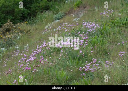Cliff landscape at Boscombe near Bournemouth in Dorset, UK, covered with pink sea thrift wildflowers (Armeria maritime) - Stock Photo