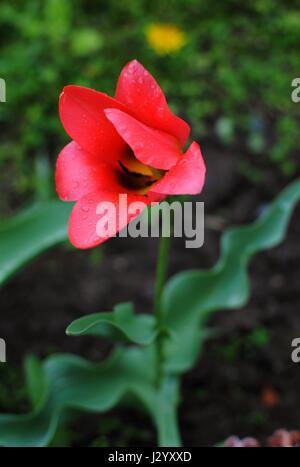 Tulip flower after rain. - Stock Photo