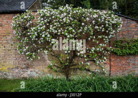 Apple tree full of blossom,  trained against a large wall in England. - Stock Photo