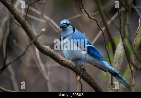 A blue jay sitting on a tree branch looking at the camera - Stock Photo